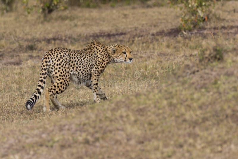 Preda d'inseguimento del ghepardo immagine stock libera da diritti
