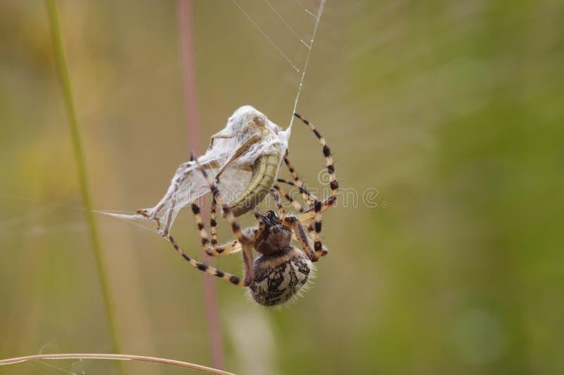 Preda del ragno fotografia stock
