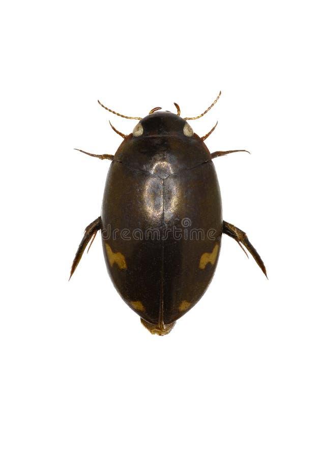 Predaceous Diving Beetle royalty free stock photos