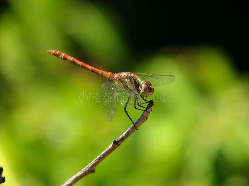 Predador rápido da libélula fotos de stock royalty free