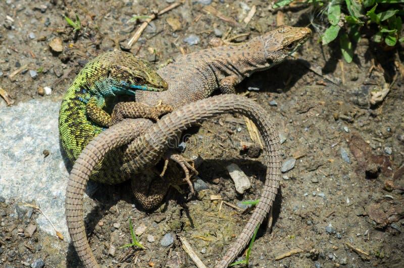 Predadores do conflito dois, o esforço para a sobrevivência entre os lagartos imagem de stock