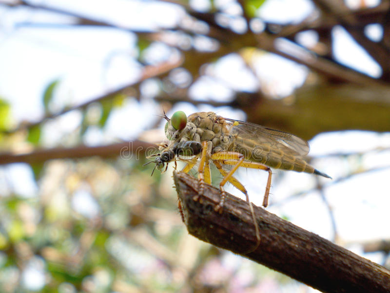Predadores do inseto fotografia de stock royalty free