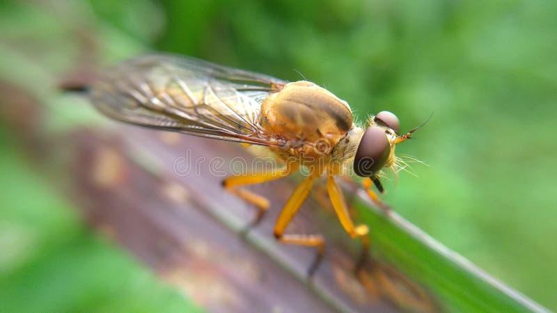 predadores do inseto do ouro que comem outros insetos no selvagem imagem de stock royalty free