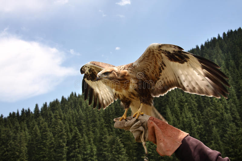 Download Predator  Bird,  Falcon.Waves Wings. Stock Photo - Image of training, carnivore: 25759984
