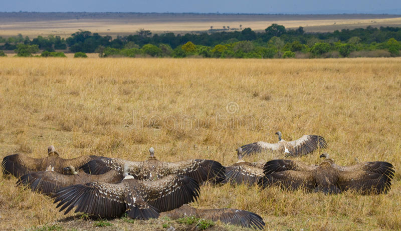 Predator birds are sitting on the ground. Kenya. Tanzania. Safari. East Africa. An excellent illustration royalty free stock images