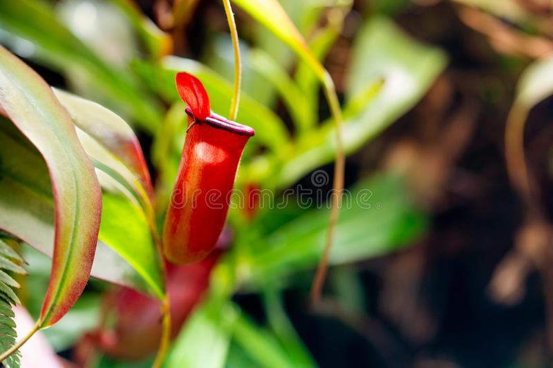 Predator carnivorous Nepenthes Alata Blanco. Fly trap tropical pitcher plant macro view, selective focus. Beautiful. Tropical garden background royalty free stock image