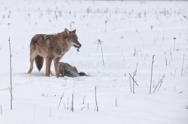 Download Coyote with pheasant stock image. Image of ring, winter - 29754265