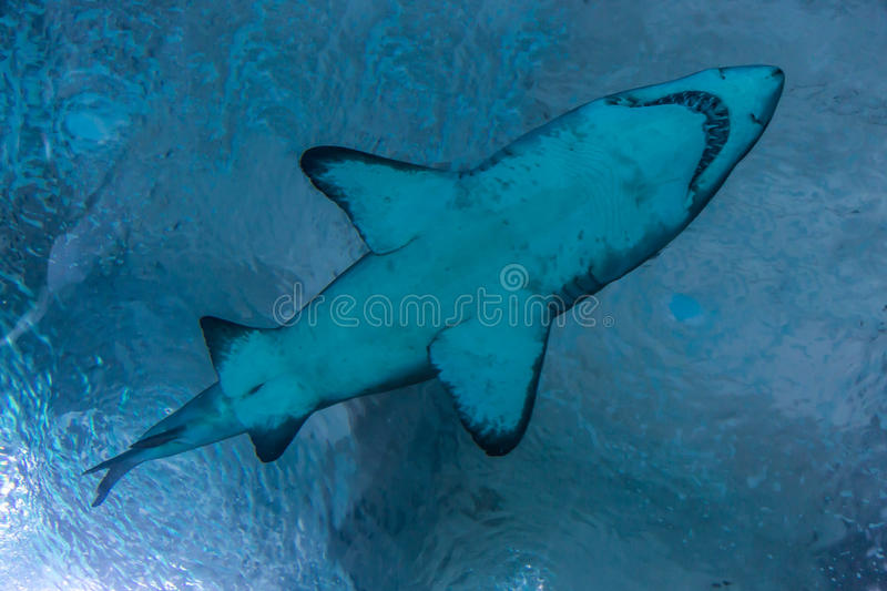 Predator of the sea. In big blue water royalty free stock photo