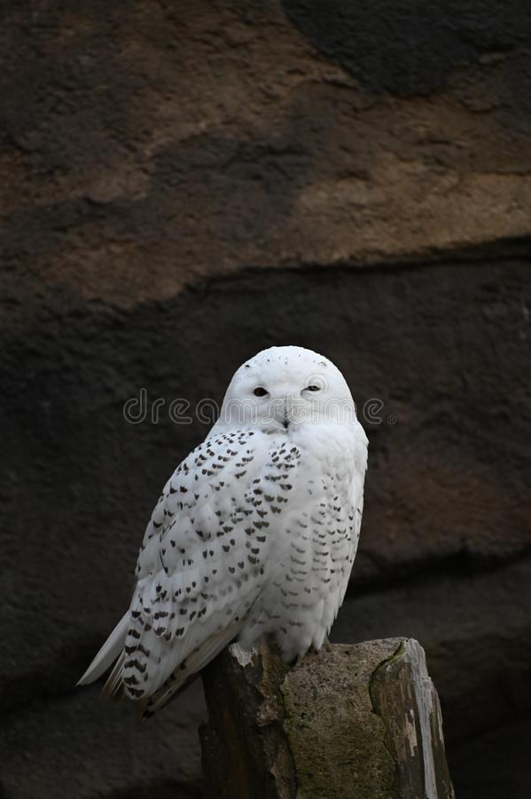 A snowy owl waiting for prey royalty free stock images