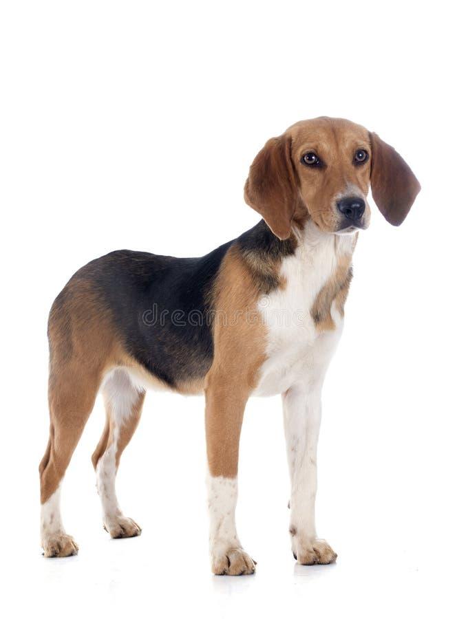 Predatore del cane da lepre fotografia stock