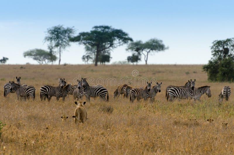 Predatore & preda, parco nazionale di Serengeti fotografia stock libera da diritti