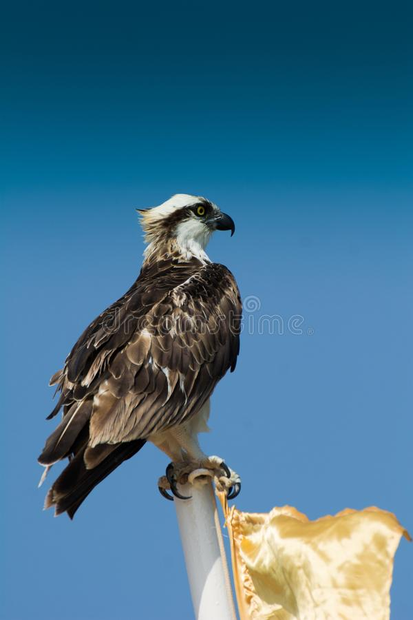 Predators Accipitriformes are an order of birds. The order includes about 225 species of birds adapted for hunting live prey. Eagle in the Marsa Alam royalty free stock images