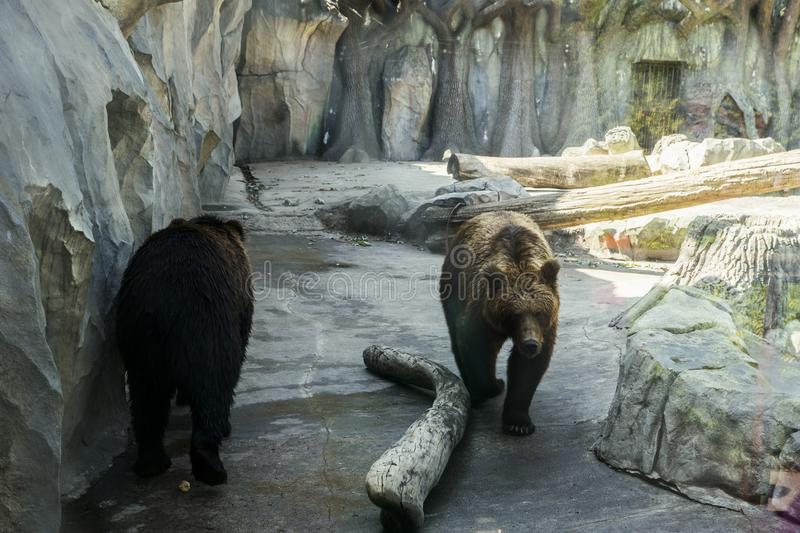 Predators white-chested bears. Behind the glass stock photography