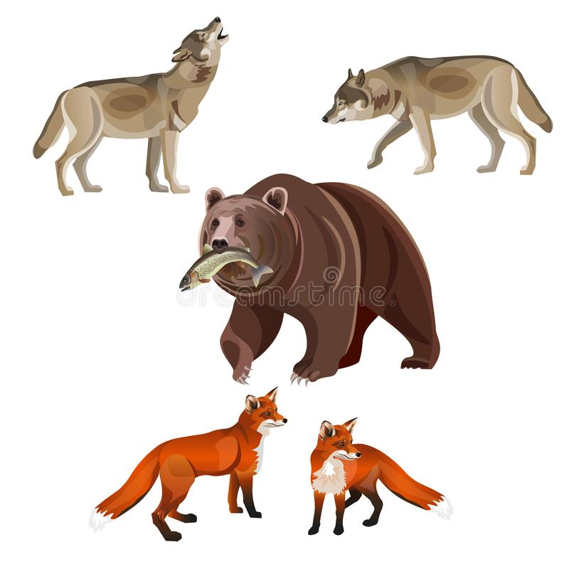Predatory beasts vector. Predatory beasts - brown bear, gray wolves and red foxes. Vector illustration on white background royalty free illustration