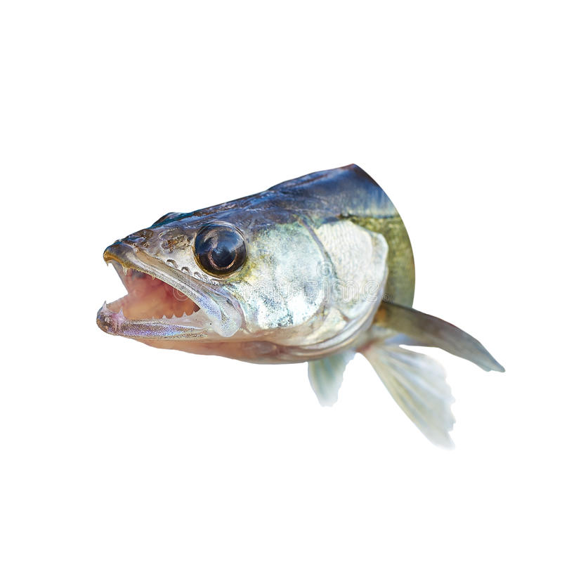 Predatory Fish Perch With His Mouth Open Stock Photo ...