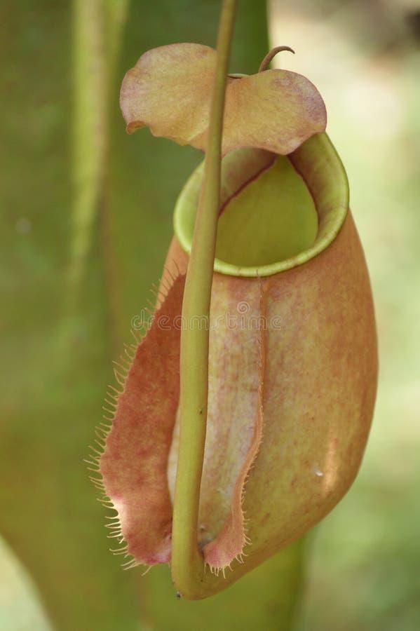 Predatory flowers. stock photos