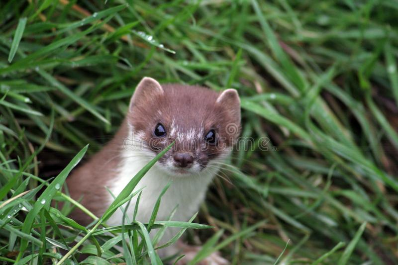 The predatory Mustela erminea, or English Stoat is a dangerous predtor royalty free stock photography