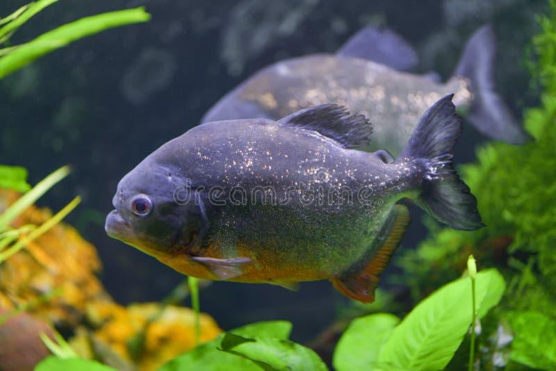 Predatory piranha fish swim in a transparent aquarium in a pet store. Horizontal photography stock images