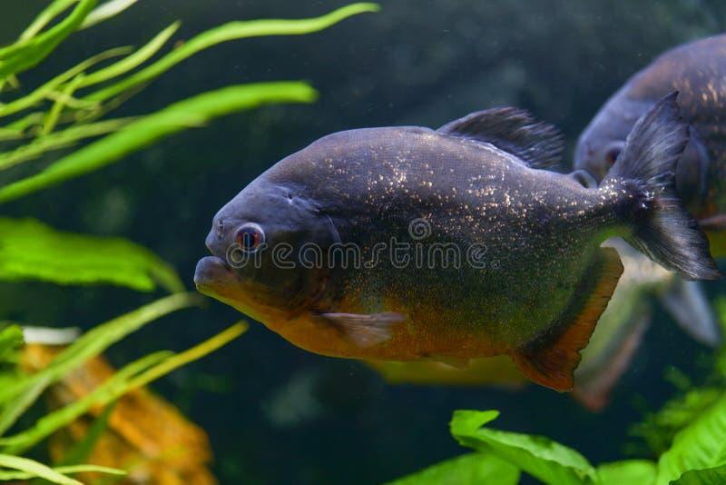 Predatory piranha fish swim in a transparent aquarium in a pet store. Horizontal photography stock image