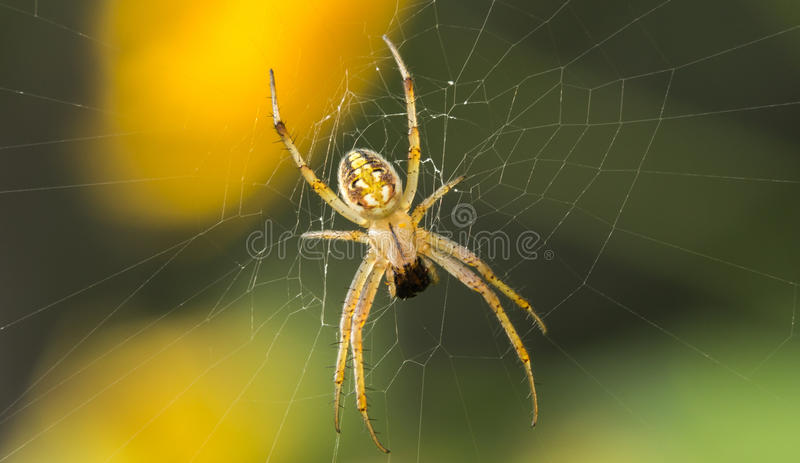 Predatory spiders. The spider is the most common animals. Them some ugly appearance, some stumbling, some can go jumping ability, have ranged. Spiders more than stock images