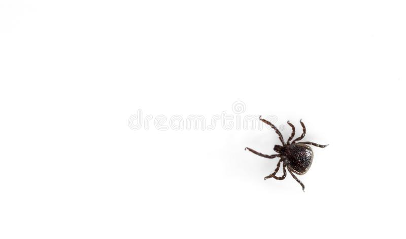 A predatory tick isolated on white background. Close-up, top view stock image