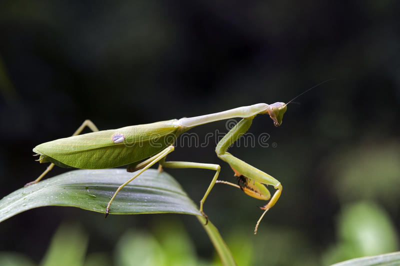 Predicador en la posición de caza respecto a la hoja verde foto de archivo
