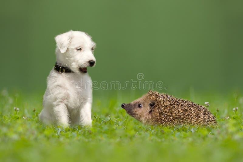 Predikant Jack Russell Terrier en egel stock afbeelding