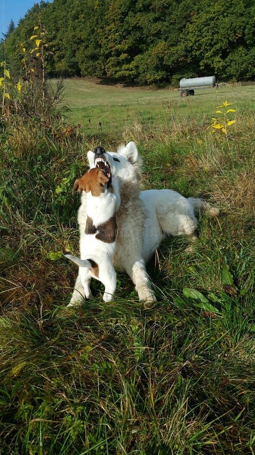 Predikant Russle en witte herder royalty-vrije stock afbeelding