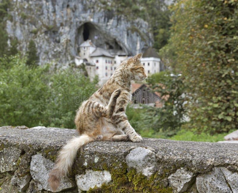 Predjama-Schloss und rote Straße streiften Katze, Slowenien lizenzfreies stockfoto