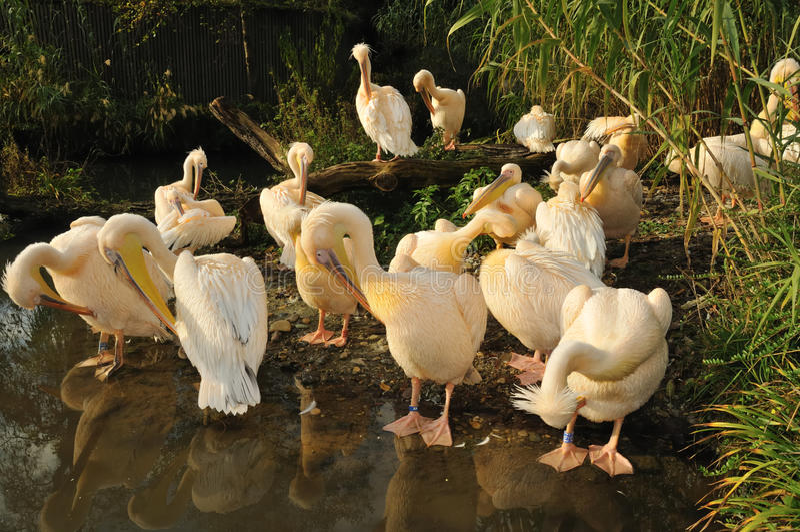 Download Preening stock photo. Image of together, pelican, preen - 11762502