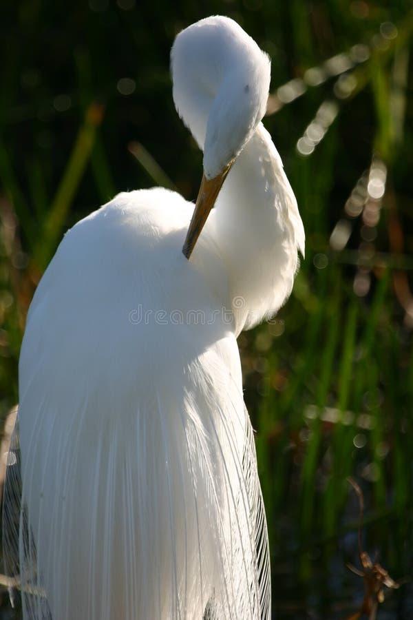 Preening Egret большой Стоковые Фотографии RF