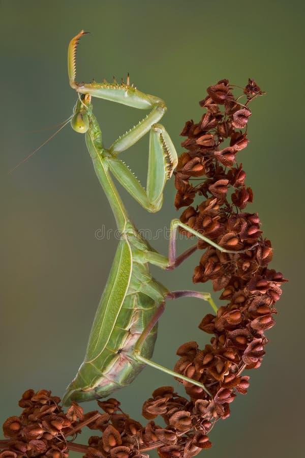 Free Preening Mantis Royalty Free Stock Photography - 16793077