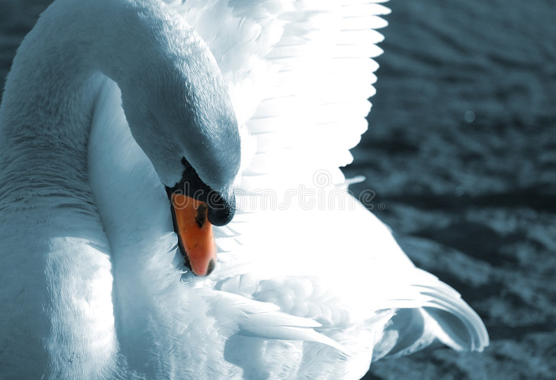 Download Preening swan stock image. Image of male, tail, mute, cleaning - 6353363