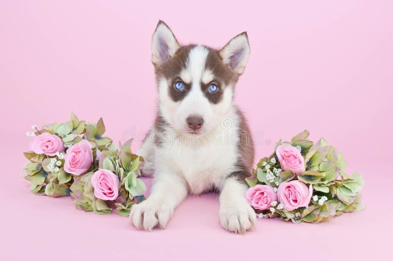 Preety Husky Puppy arkivbilder