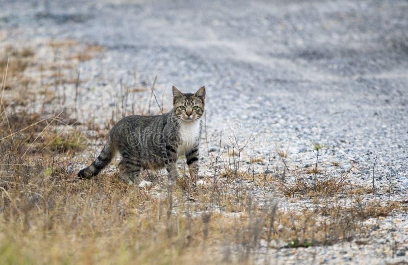 Pregant vild inhemsk ladugårdkatt arkivfoton