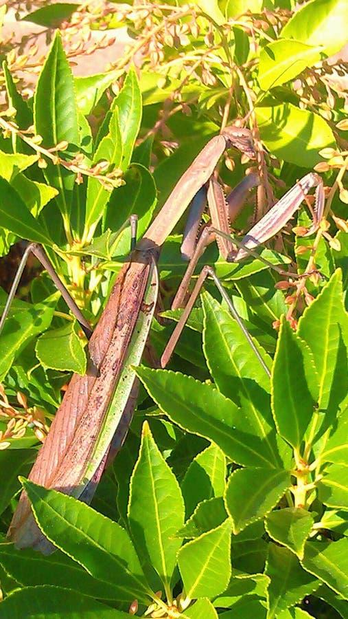 Pregare Mantiss fotografia stock libera da diritti