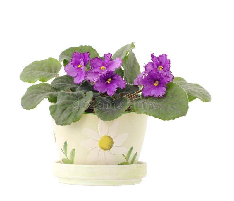 Preghiera silenziosa di fioritura di senpolia su bianco immagini stock libere da diritti