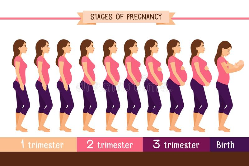 Pregnancy stages flat vector illustration. Pregnant woman and birth newborn trimester infographics stock illustration