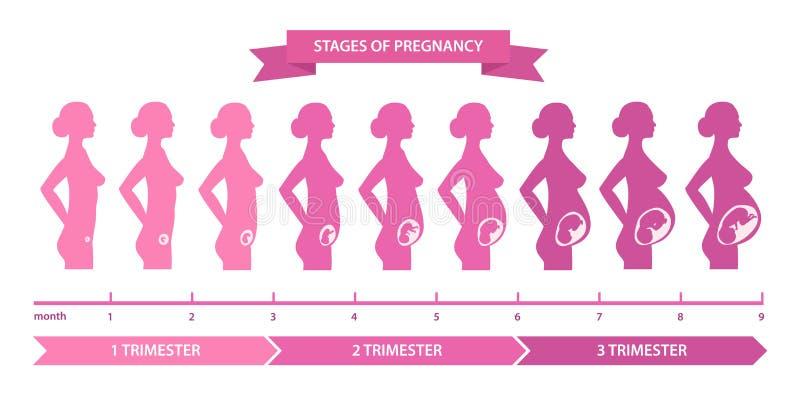 Pregnancy stages line vector illustration