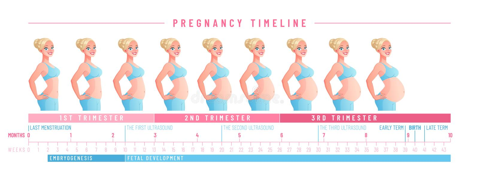 Pregnancy timeline by weeks. Isolated vector illustration. royalty free illustration