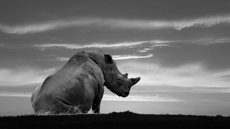 Pregnant African White Rhino resting stock image
