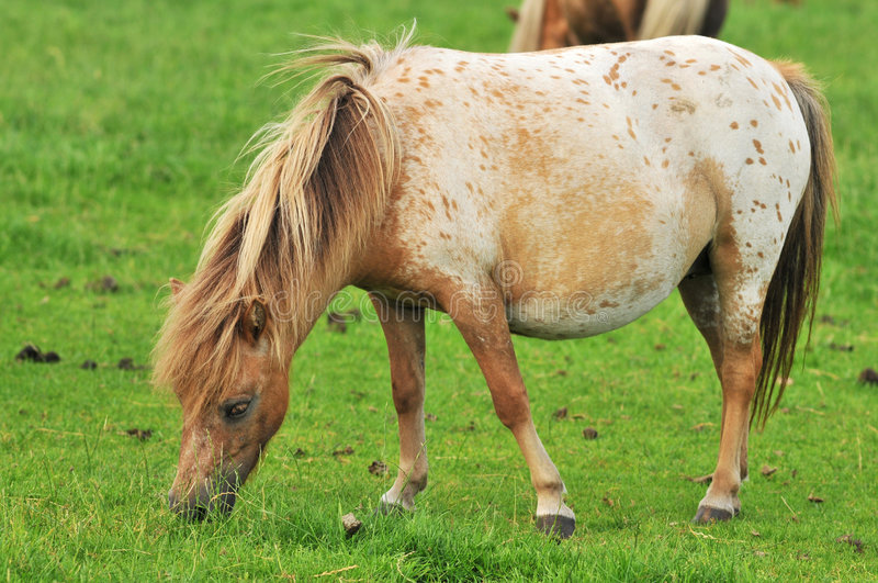 Pregnant American mini horse stock images
