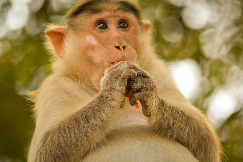 Pregnant bonnet macaque eating tamoto. royalty free stock photography