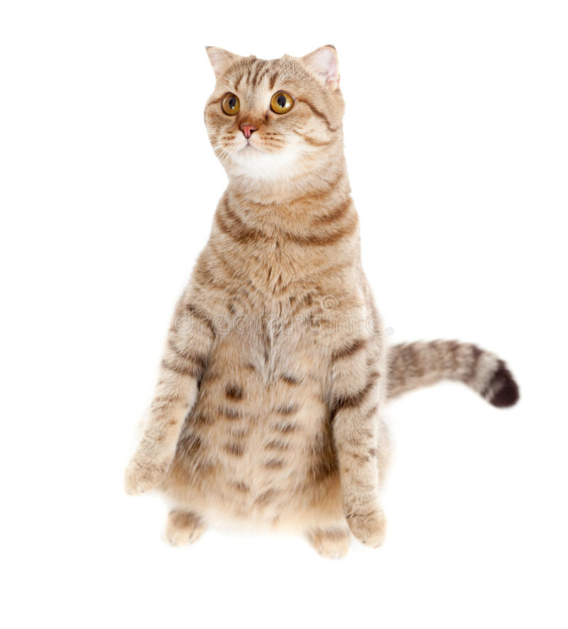 Pregnant cat with nice belly sitting royalty free stock photos