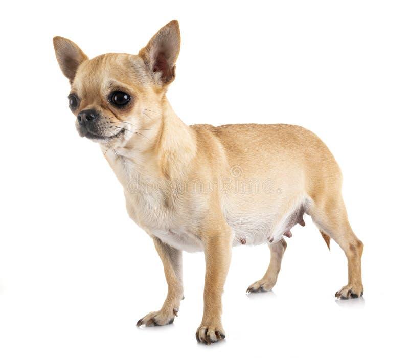 Chihuahua Gravid
