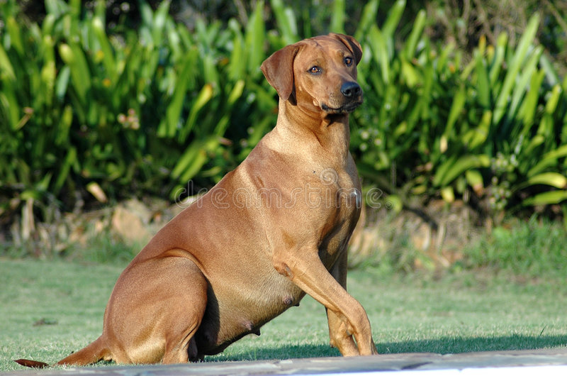 Pregnant dog. Red wheaten Rhodesian Ridgeback dog being pregnant and expecting a litter of puppies royalty free stock image