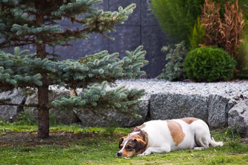 Pregnant dog. Sleeps in the garden royalty free stock photos