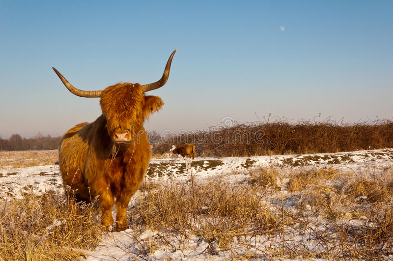 Pregnant Highland cow in winter coat stock images
