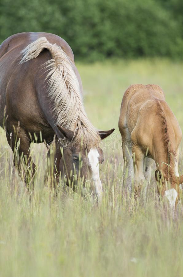 Pregnant horse and foal bowed their heads and chew grass. On a green meadow in the summer stock photography