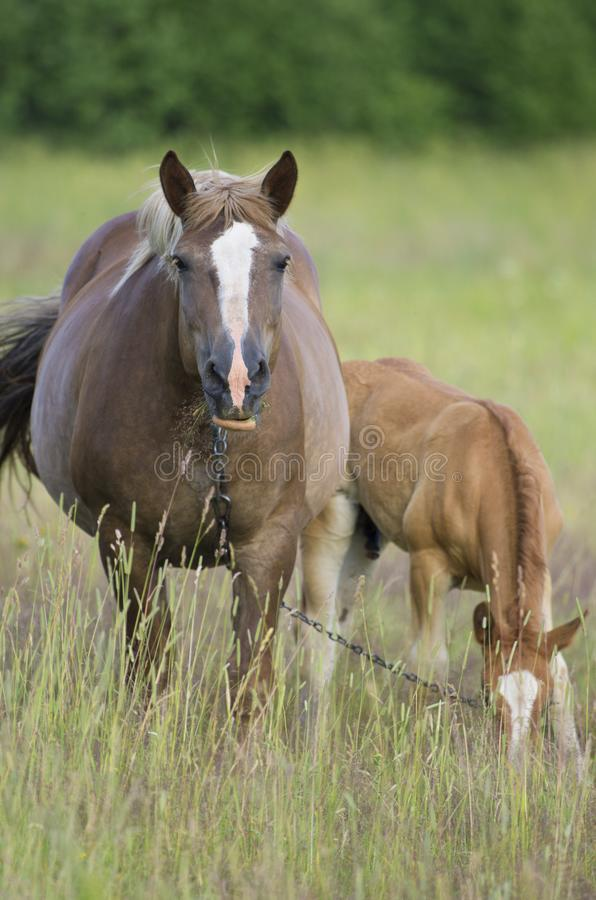 Pregnant horse and foal chewing grass on a meadow royalty free stock images